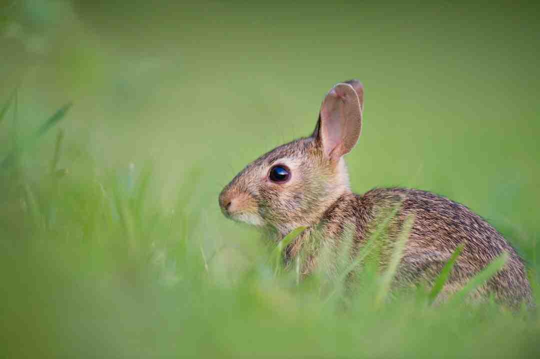 Comment nourrir un lapin de garenne