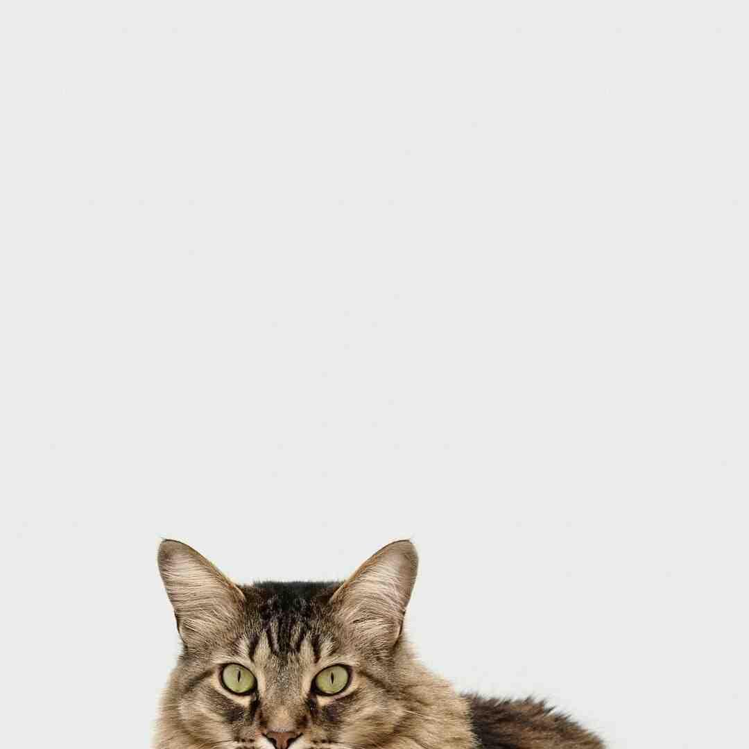 Comment inciter son chat à rester sur ses genoux